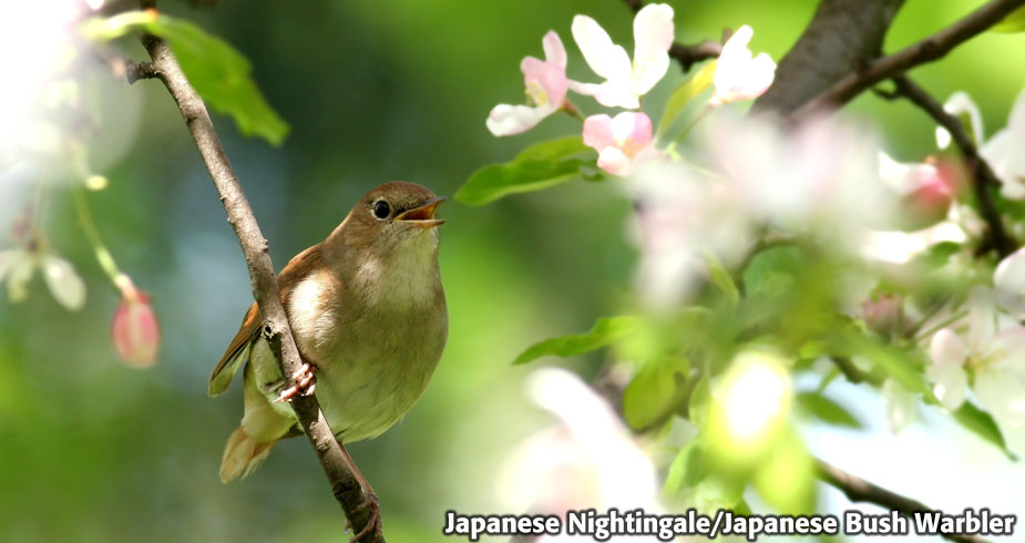 Japanese Nightingale Bird Poop Facial Mask Japanese Nightingale Feces Excrement
